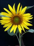 SunFlower6.jpg