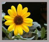 Sunflower_Sr3.jpg