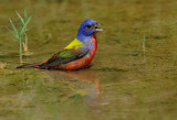 Painted Bunting 3