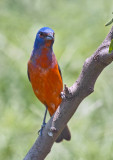 Painted Bunting 7