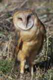 barn owl squint