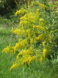 Are these goldenrods?