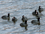 American coots_2