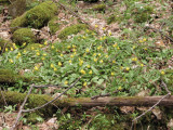 Large numbers of trout-lily