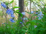 Time for the Virginia Bluebells once again