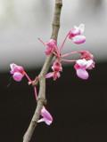 Flowers of the Judas Tree I think