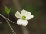 The last dogwood from our trip