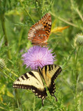 Sharing a thistle flower