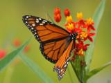 Spots on a Monarch