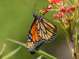 Up-side-down monarch