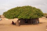 A shady tree