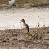 A Senegal Thick-knee apparently