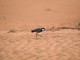 Plover in motion