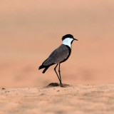 The stationary plover