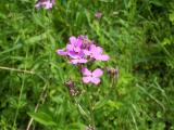 Flowers in the sun - Dames Rocket