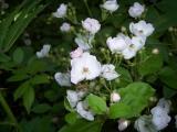 Rosa multiflora (I think!)