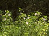 Are these Swamp Rose Mallow?