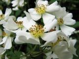 Rosa Multiflora closeup_2