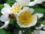 Rosa Multiflora closeup_3