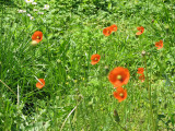 Are these poppy?