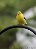 Goldfinch-female
