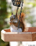 Red Squirrel Spring 3