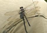 Gray Petaltail (Tachopteryx thoreyi)