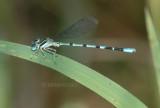 Seepage Dancer (Argia bipunctulata) m.