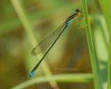 Rainbow Bluet, Enallagma antennatum
