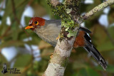 Adult Chestnut-hooded Laughingthrush