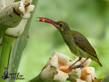 Adult Yellow-eared Spiderhunter