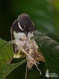 Adult Pied Fantail building its nest