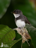 Adult Pied Fantail on nest