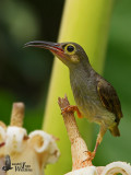 Adult Spectacled Spiderhunter