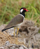 Adult Red-wattled Lapwing