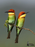 Chestnut-headed Bee-eaters