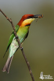Adult Chestnut-headed Bee-eater