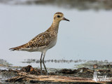 Adult Pacific Golden Plover in non-breeding plumage