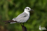 Adult Whiskered Tern in non-breeding plumage