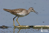 Adult Wood Sandpiper in non-breeding plumage