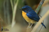 Adult male Mangrove Blue Flycatcher