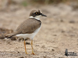 Adult Little Ringed Plover