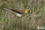 Yellow Wagtail (first winter male tschutschensis/simillima)