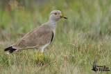 Adult Grey-headed Lapwing
