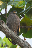 Adult Crested Serpent Eagle (ssp. malayensis)