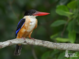 First winter Black-capped Kingfisher