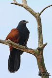 Adult Greater Coucal