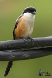 Adult Long-tailed Shrike (subspecies bentet)
