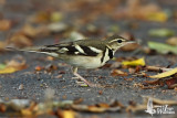 Adult Forest Wagtail