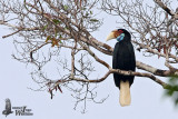 Female Wreathed Hornbill